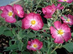 Flowers bright pink with a paler center. Deer Resistant Plants, Evergreen Shrubs, Drought Tolerant, Bright Pink, Garden Plants, Tropical, Bloom, Landscape, Flowers