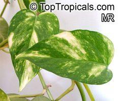 Epipremnum pinnatum, Rhaphidophora pinnata, Epipremnum aureum, Scindapsus aureus, Pothos aureus