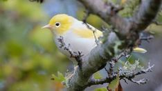 A Wellington photographer out for her daily lockdown walk has captured an extremely rare white tauhou. Yellow Feathers, Bird Feathers, Beautiful Birds, Animals Beautiful, Bird Artwork, Rare Birds, Sea Birds, Animals Of The World, Bird Species
