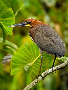Rufescent Tiger-heron (Tigrisoma lineatum marmoratum). This beautiful heron is found from Mexico to Argentina, occuring in both rainforest and open wetlands. They are often very shy. | Bill Holsten