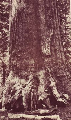 Mammoth redwood: look closely and you will see a man standing at the base of the tree,