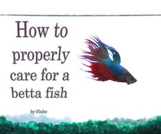 How to Properly Care for a Betta