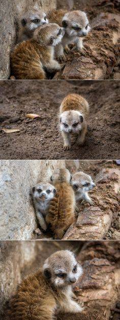 Mini mobsters at the San Diego Zoo. Photos by Helene Hoffman. Fun fact - Meerkat babies are called pups. Wild Creatures, All Gods Creatures, Cute Baby Animals, Animals And Pets, Beautiful Creatures, Animals Beautiful, Zoo Photos, Mongoose, San Diego Zoo