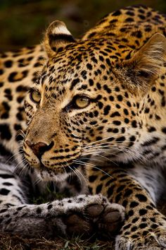 Leopard (via 500px / Spotted Splendour by Nelis Wolmarans)