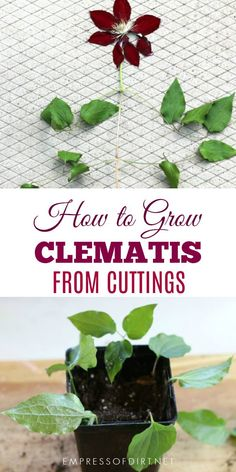 This Clematis care guide is AWESOME! It tells you how to grow Clematis, how to prune Clematis and what varieties will do well in your garden design. Click through to learn all about these perennial vines with beautiful flowers. Flower Garden, Plants, Growing Plants, Beautiful Flowers Garden, Clematis Plants, Propagating Plants, Plant Care, Garden Vines, Growing Flowers
