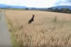 It's plain to see how much this dog loves the great outdoors as he bounces through over a field of waist-high wheat field. Dog Lover Quotes, Dog Quotes, Dog Lovers, Happy Animals, Funny Animals, Cute Animals, Dog Show, Grumpy Cat, Look At You