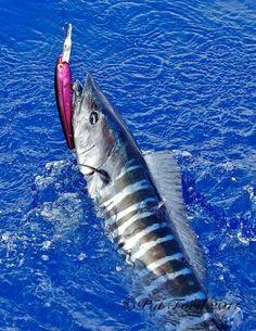 Wahoo (one of the most fun fish to catch! Cool Fish, Big Fish, Pretty Fish, Fishing Gifts, Fishing Reels, Fishing Lures, Fly Fishing, Fishing Trips, Salt Water Fish