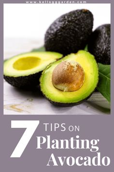 Avocado trees are rewarding trees to grow and can be nurtured as an indoor container plant or as a robust high producer in your yard. Here's our comprehensive guide on growing avocado.  #organicgardening #avocado Where Do Avocados Grow, Organic Gardening, Sustainable Gardening, Growing An Avocado Tree, Avocado Plant, Citrus Trees, Healthy Fruits, Edible Garden, Gardening For Beginners