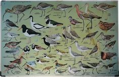 7 - Strandlopers en weidevogels