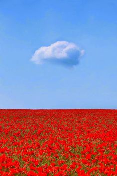 Field of poppies and one cloud