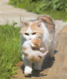 Beautiful momma carries her matching kitten home:)