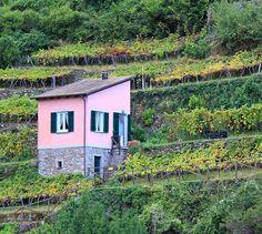 Près de Manarola - Les Cinque Terre -  Le regard hésite entre la vue de coquettes maisons de poupée (ô le pimpant rose bonbon !) et les cultures en terrasses de la vigne. Ce vignoble est une fierté des habitants de la région. Les vignes basses, presque fouettées par les embruns, produisent du raisin de table. Quant aux terrasses à mi collines, elles permettent d'élaborer des vins blanc secs de qualité, seul le Sciacchetra est un savoureux vin moelleux parfait pour accompagner les desserts.