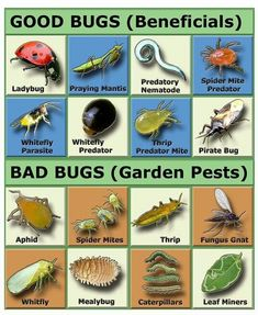 Natural Garden Pest Control- You really need to be careful introducing non native bugs into your area. Asian Ladybugs were brought here they are NOT the same as our old fashioned ladybugs! They bite, emit a foul smelling toxin have no predators. My house Garden Bugs, Garden Insects, Garden Pests, Garden Care, Garden Fertilizers, Herbs Garden, Edible Garden, Growing Vegetables, Growing Plants