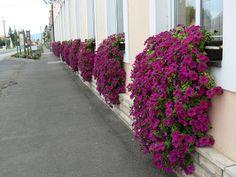 Petunia Surfinia, Container Flowers, Garden Plants, Beautiful Flowers, Sidewalk, Bouquet, Spring, Balconies, Gardening