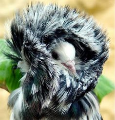The Jacobin is a breed of fancy pigeon that has been selectively bred over the years to create this pronounced head crest, or parka as I like to call it. Pretty Birds, Love Birds, Beautiful Birds, Animals Beautiful, Jacobin Pigeon, Pigeon Pictures, Pigeon Breeds, Dove Pigeon, Pet Pigeon