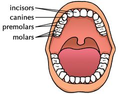 We use 4 different types of teeth to cut, tear and grind the food which are: - Incisors - Canine - Premolars - Molars