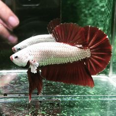 Knowing All Types Of Betta Fish - By Tail, Pattern And Color With Photo And Description - The betta fish is also called Siamese fighting fish is one of the popular fish are keeping by fish hobbies. Freshwater Aquarium, Aquarium Fish, Fish Gallery, Betta Fish Types, Fish Breeding, Siamese Fighting Fish, Pet Fish, Fish Patterns, Beautiful Fish