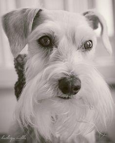 How to Train Your Miniature Schnauzer Little Puppies, Cute Puppies, Dogs And Puppies, Mini Schnauzer, Miniature Schnauzer, Love Pet, Puppy Love, Animals Beautiful, Cute Animals