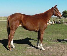 VENDIDA -ALAZANA ideal para SALTO Cruza SPC con Cuarto de Milla Horses, Animals, Ideas, Horses For Sale, Quarter Horses, Racing, Animais, Animales, Animaux