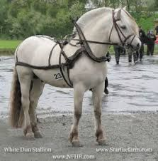 Image result for fjord pony