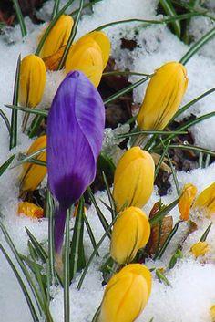crocuses push through the snow, can't wait!