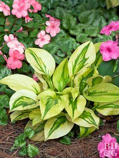 You'll look twice at 'Stitch in Time', a unique variety that has green leaves widely edged in bright gold that looks like it's been sewn on. The texture looks great with other small hostas. Size: 14 inches tall, 24 inches wide Zones: 3-9 Slug Resistant: Moderate Flowers: Lavender Year Introduced: 2004