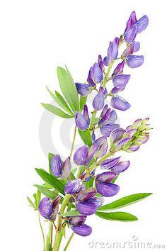purple lupine drawing - Google Search