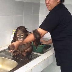 Bath time for baby Orangutan Bath time for baby Orangutan - Unique Baby Bathing Cute Animal Videos, Funny Animal Pictures, Cute Funny Animals, Cute Baby Animals, Animals And Pets, Cute Cats, Hilarious Pictures, Videos Of Animals, Funny Gifs