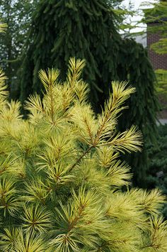 Pinus strobus 'Golden Showers' (Golden white pine) (3) | Flickr - Photo Sharing!