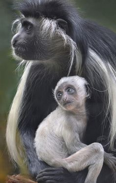 A baby Angolan Colobus monkey is well protected at the San Diego Zoo. Photo by Ion Moe
