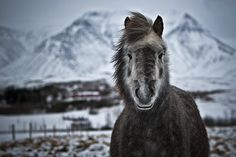 Winter horse in Iceland