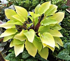 """Hosta - """"Fire Island""""  Common Name:Plantain Lily  HardinessZone:  3-9S / 3-9W  Height:10""""+  Exposure:Full or Part Shade  Blooms In:July  Spacing:15-18"""""""