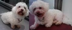 Dexter is a 3 year old Bichon Frise Mix with an outstanding personality! Dexter is all smiles & seems to be such a patient boy! He has asked us to find him a Forever Home with humans who love to snuggle & go on walks. Pretty Cute!  Questions? Call us at 310.441.1150 He is available for adoption at L.A. Love & Leashes, located on the 1st floor of the Westside Pavilion mall at 10800 West Pico Blvd, Los Angeles, CA 90064. http://www.laloveandleashes.com/adopt/