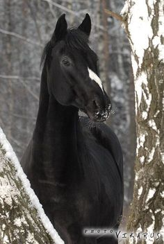 Russian Riding Horse