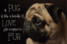 Funny Dogs but only Pug Videos - Pug Compilation 16 Raza Pug, Pug Quotes, Pug Mug, Pugs And Kisses, Pug Pictures, Pug Pics, Animal Pictures, Black Pug, Pug Puppies