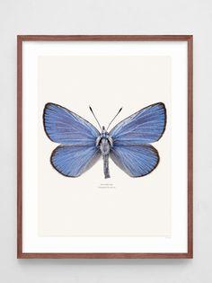 Liljebergs Klöverblåvinge, print 40x50