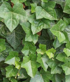 Le lierre ou LA plante anti-pollution : Ces plantes dépolluantes pour votreintérieur - Linternaute