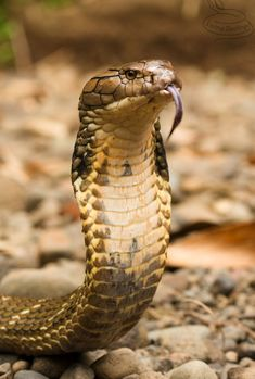 King cobra is the longest venomous snake in the world and trully a majestic animal. Cobra Tattoo, Snake Tattoo, Les Reptiles, Reptiles And Amphibians, King Cobra Movie, Indian Cobra, King Cobra Snake, Creepy Animals, Super Snake
