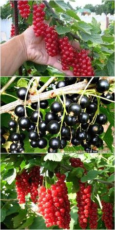 If you were looking for fruit gardening, take a look below Fruit Plants, Fruit Garden, Garden Trees, Edible Garden, Fruit Trees, Vegetable Garden, Shrubs For Sale, Vertical Garden Wall, Chicken Garden