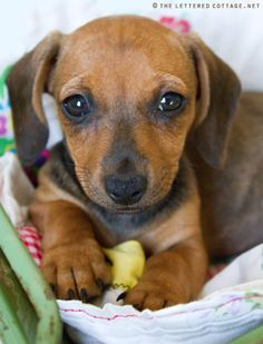 dachshund + yorkie = dorkie!!!!  I don't always love this mixing breed stuff, but this one is adorable! Eeeek