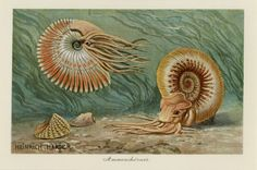 """This is an awesome antique German chromolithograph print C.1900 of Ammonite, similar to today's nautilus. They were thought to be petrified coiled snakes and were known as 'snakestones' in Medieval Europe. Ready to frame - Matted 11x14"""""""
