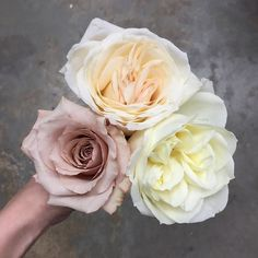Posh Floral Designs's favorite roses. Left: Quicksand Rose Top: White O'hara Right: Polo Rose