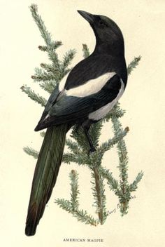 American Magpie The second book of birds; bird families