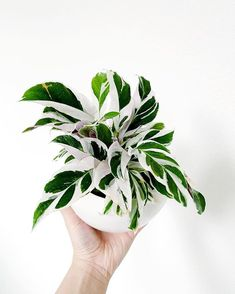 I present to you my new Calathea White Fusion! My plant bff gave this to me as a birthday present and I cannot be more excited! House Plants Decor, Plant Decor, Indoor Garden, Garden Plants, Plantas Indoor, Calathea Plant, Decoration Plante, Inside Plants, Plants Are Friends