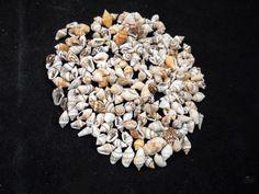 """1 oz (about 120 shells) Mixed Nassa Mini Shells (1/4""""-1/2"""") Crafts Seashells"""