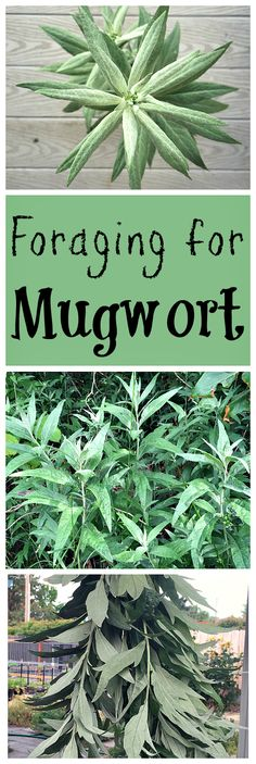 Foraging for Mugwort : Mugwort is an easy to forage for herb that has both edible and medicinal properties. Mugwort is an edible and medicinal plant that has many uses. Foraging for mugwort is easy and fun, and it grows almost everywhere! Healing Herbs, Medicinal Plants, Herbal Plants, Culture D'herbes, Edible Wild Plants, Herbs For Health, Plant Identification, Wild Edibles, All Nature