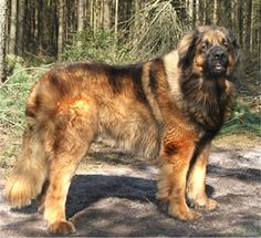 Leonberger Photos Pictures Leonbergers