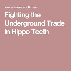 Fighting the Underground Trade in Hippo Teeth