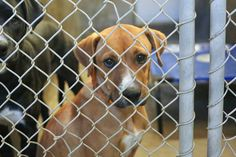 Lab mix male less than 4 months old  Kennel A7 Available NOW**** $35 to adopt   Located at Odessa, Texas Animal Control. https://www.facebook.com/speakingupforthosewhocant/photos/pb.248355401855372.-2207520000.1414791512./866714606686112/?type=3&theater