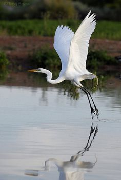 I love egrets and herrons